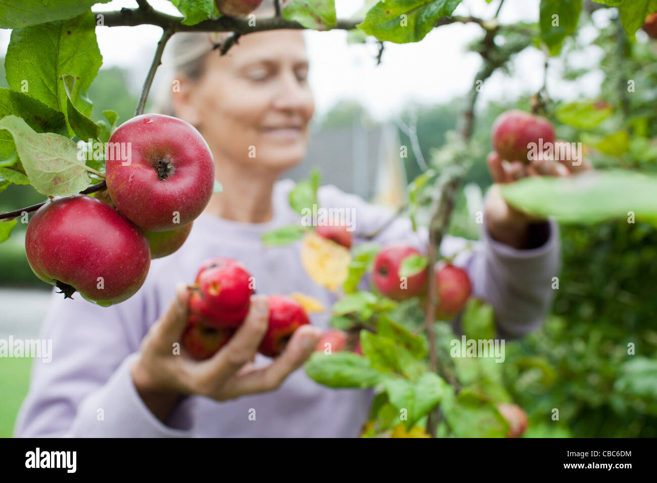 Older woman picking fruit from tree - Stock Image