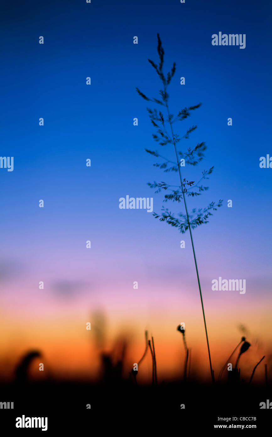 SUNSET SILHOUETTE image of Yorkshire Fog grass with poppy seed heads, taken in Somerset, United Kingdom - Stock Image