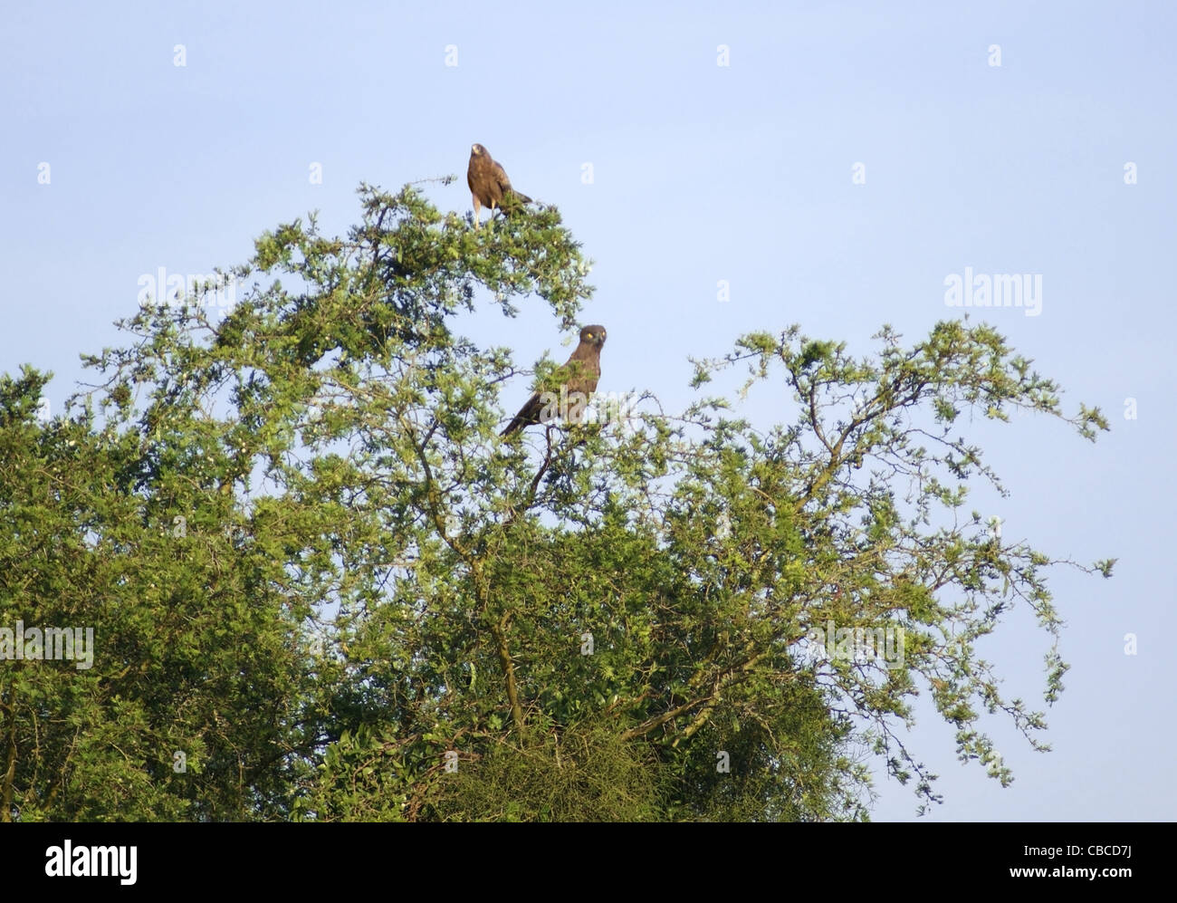 two birds sitting in a treetop in Uganda (Africa) in front of misty sky - Stock Image