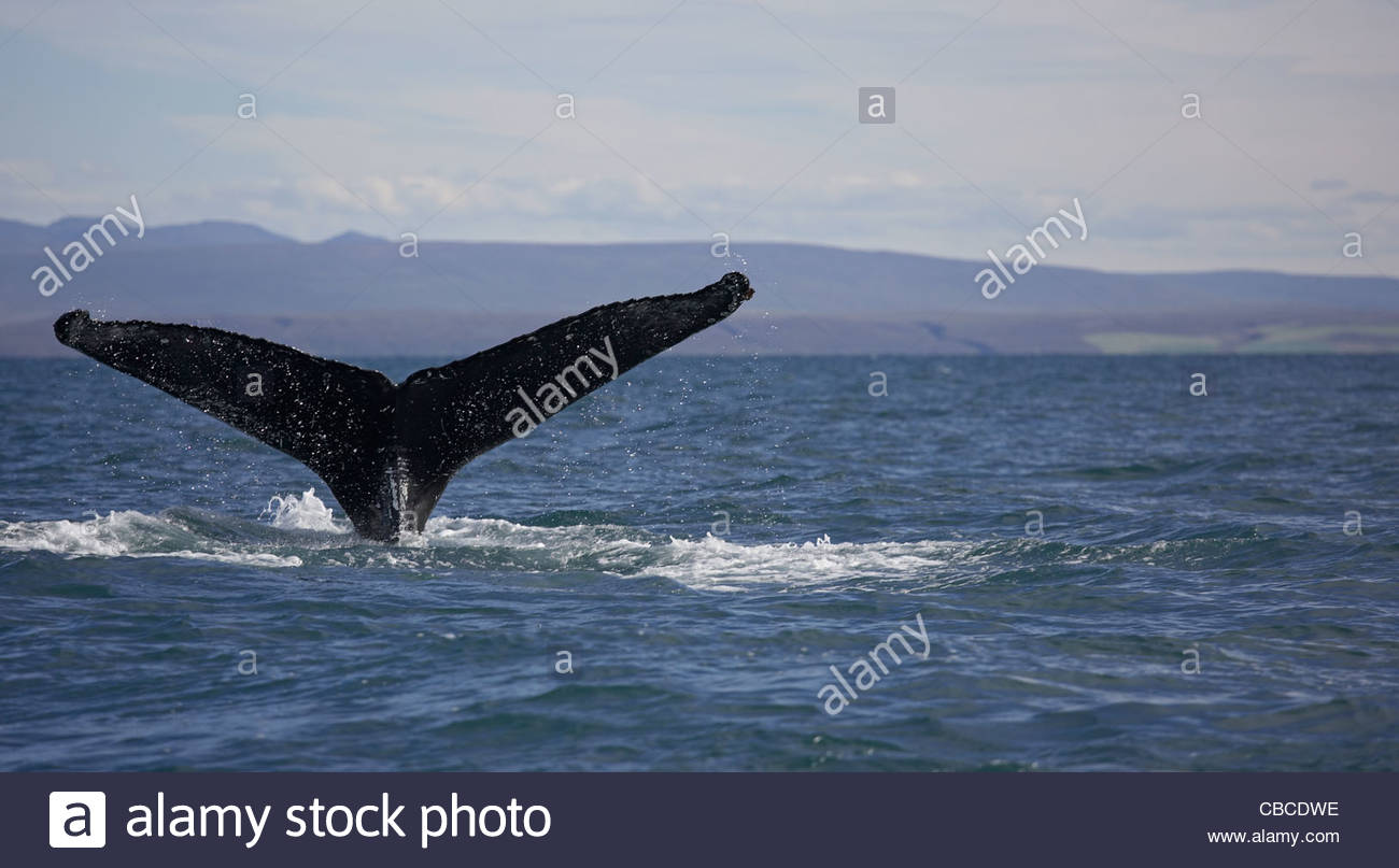Whale tail emerging from ocean - Stock Image