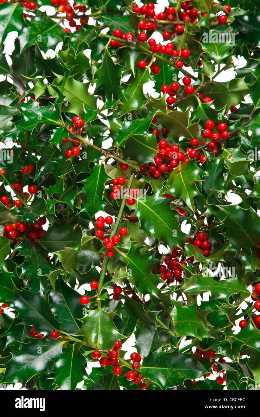 Photo of holly with red berries filling the frame with a white background. - Stock Image