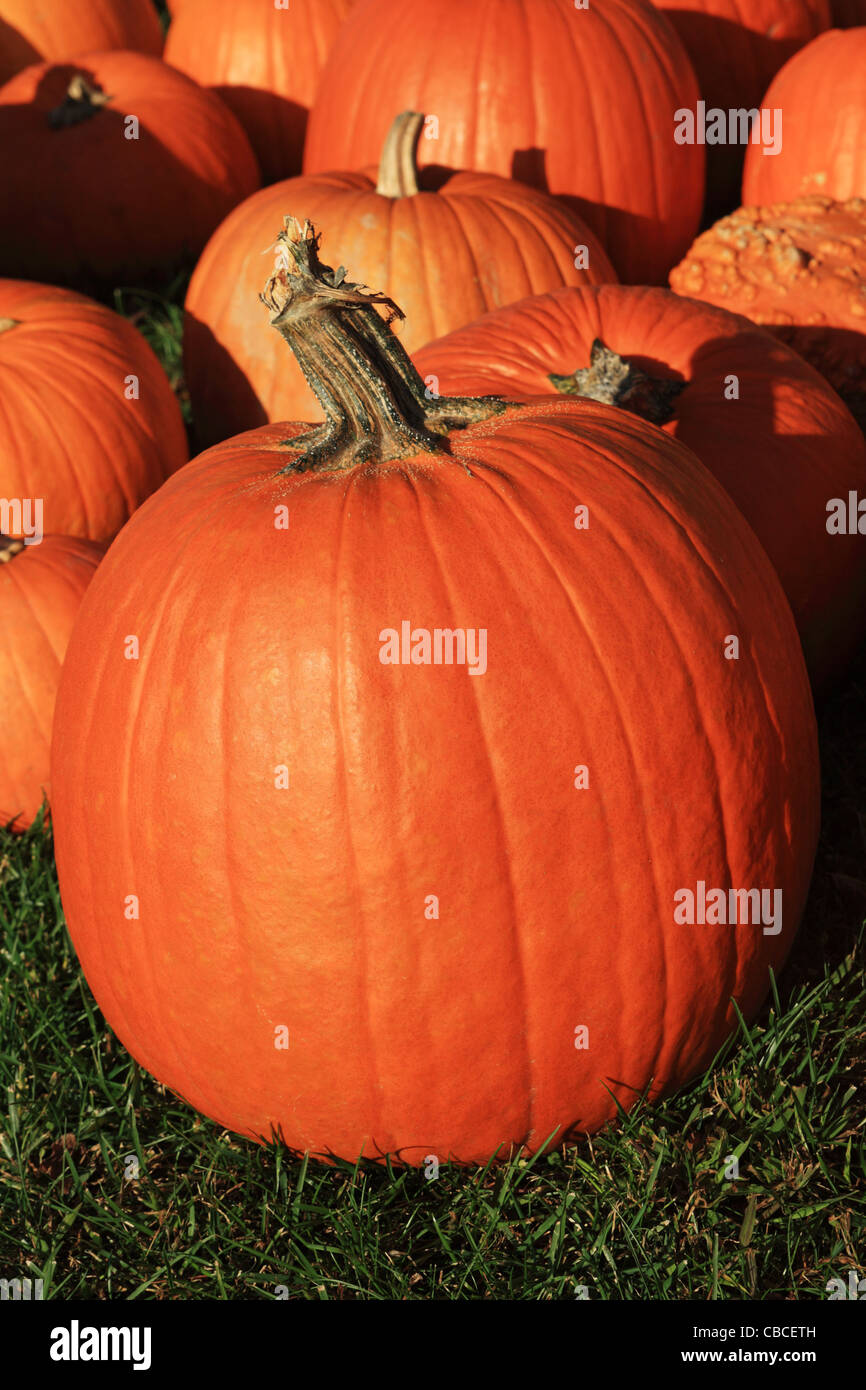 vertical image of pumpkins on grass with one large pumpkin in the front - Stock Image