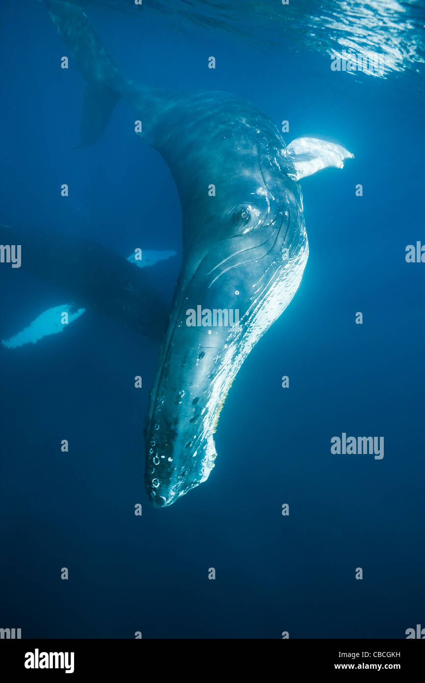 Humpback Whale, Megaptera novaeangliae, Caribbean Sea, Dominica - Stock Image
