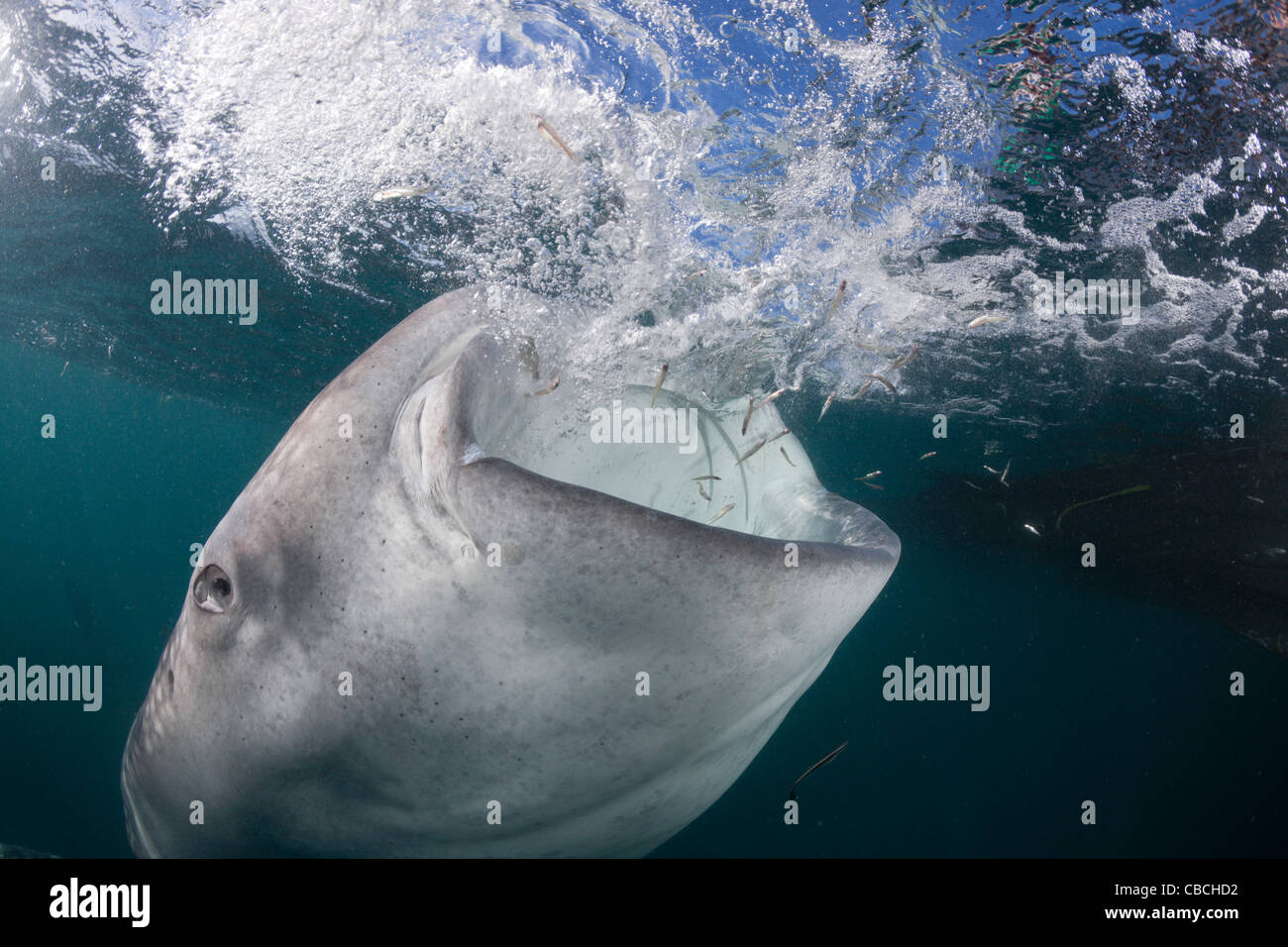 Feeding Whale Shark, Rhincodon typus, Cenderawasih Bay, West Papua, Indonesia - Stock Image