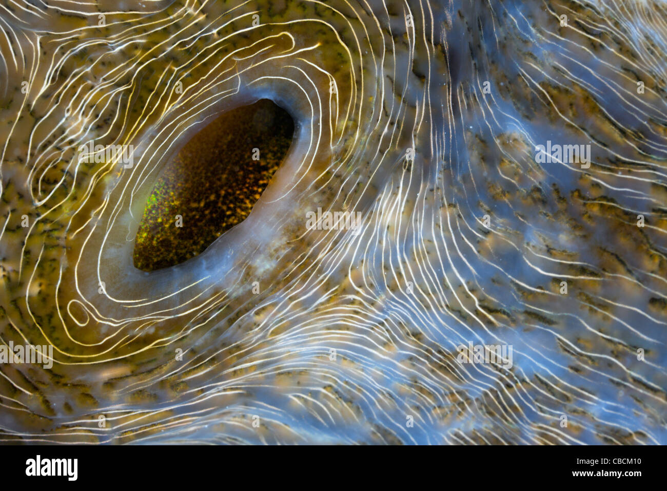 Detail of Great Clam, Tridacna squamosa, Cenderawasih Bay, West Papua, Indonesia Stock Photo
