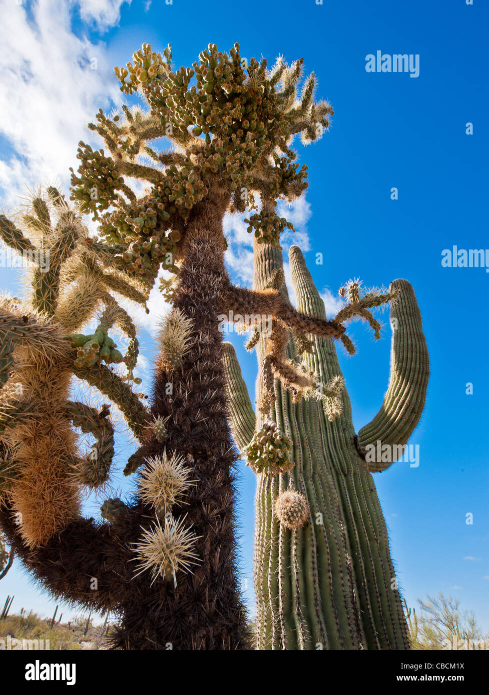 A giant Fruit-Chain Cholla cactus along side huge Saguaros in the Sonoran desert.  Florence, Arizona. - Stock Image