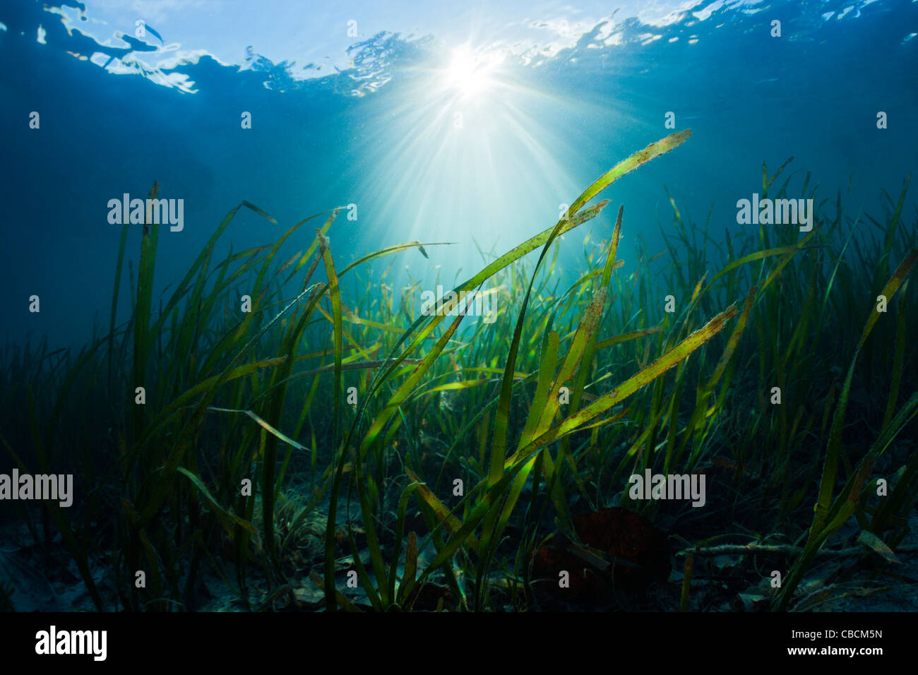 Seagrass Meadows, Cenderawasih Bay, West Papua, Indonesia - Stock Image