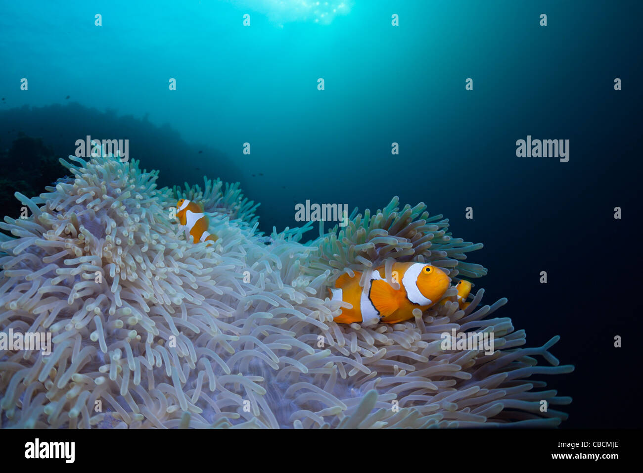 Clown Anemonefish in bleached Sea Anemone, Amphiprion ocellaris, Heteractis magnifica, West Papua, Indonesia - Stock Image