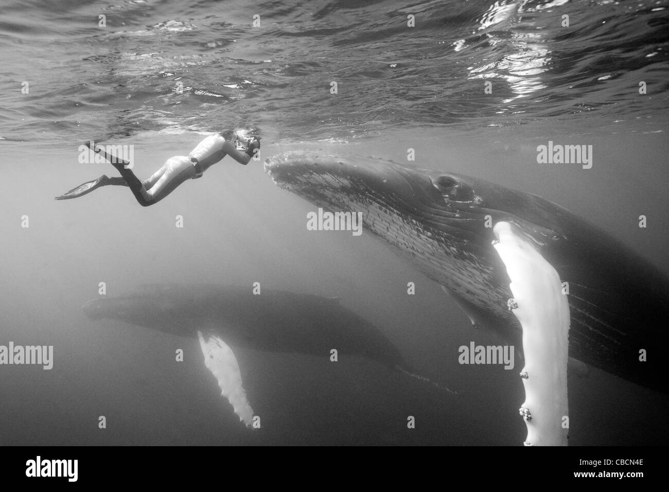 Humpback Whale and Photographer, Megaptera novaeangliae, Silver Bank, Atlantic Ocean, Dominican Republic Stock Photo