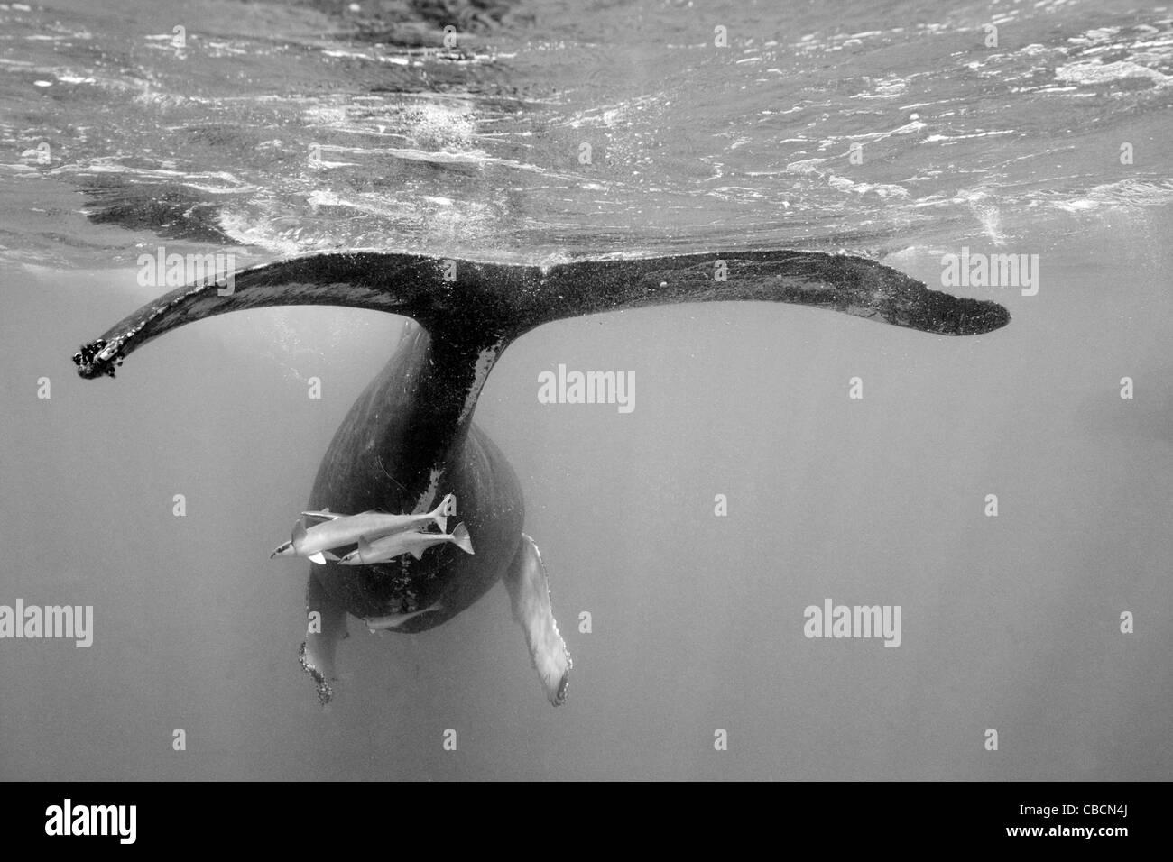 Humpback Whale, Megaptera novaeangliae, Silver Bank, Atlantic Ocean, Dominican Republic - Stock Image