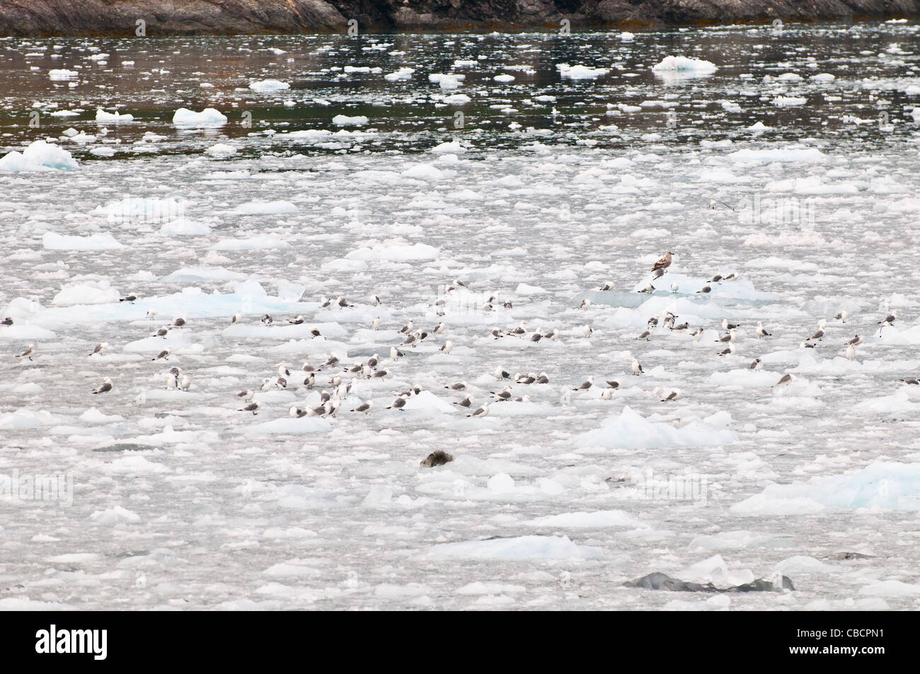 Seabirds sitting on glacial ice, Holgate Glacier, Kenai Fjords National Park, Seward, Alaska - Stock Image