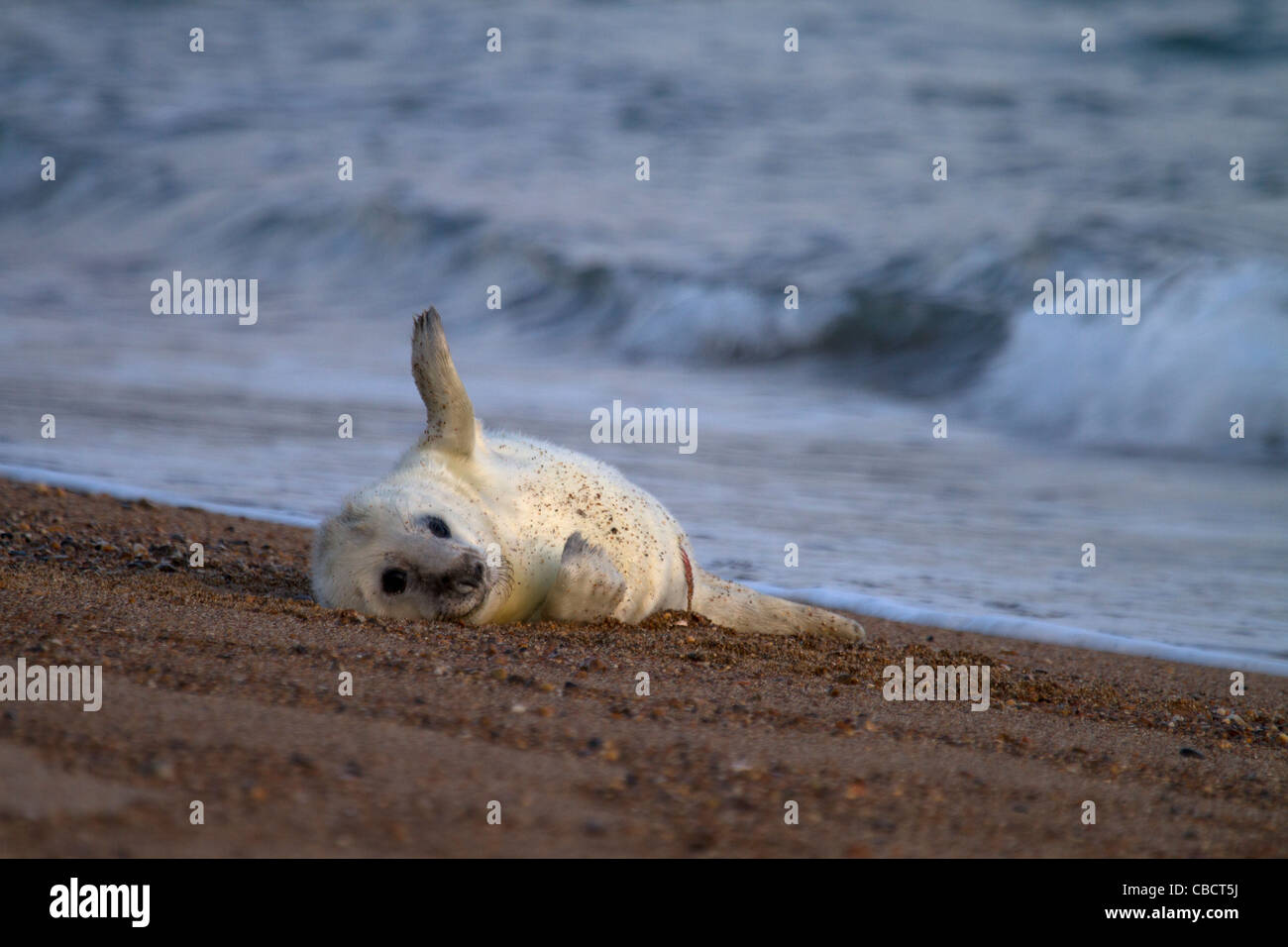 A young Grey Seal pup, Halichoerus grypus plays on the edge of the surf - Stock Image