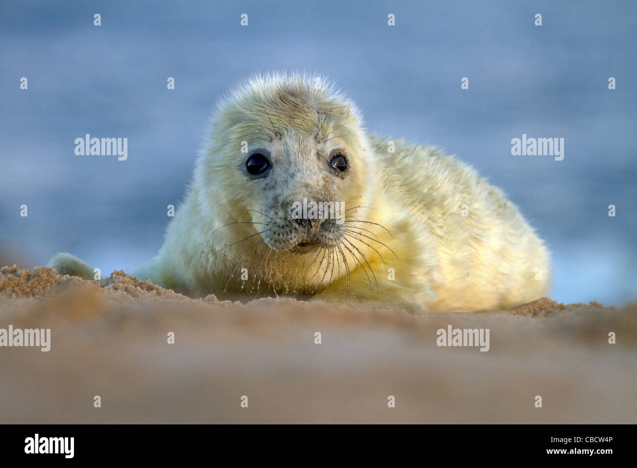 A young Grey Seal pup, Halichoerus grypus on a Norfolk beach Stock Photo