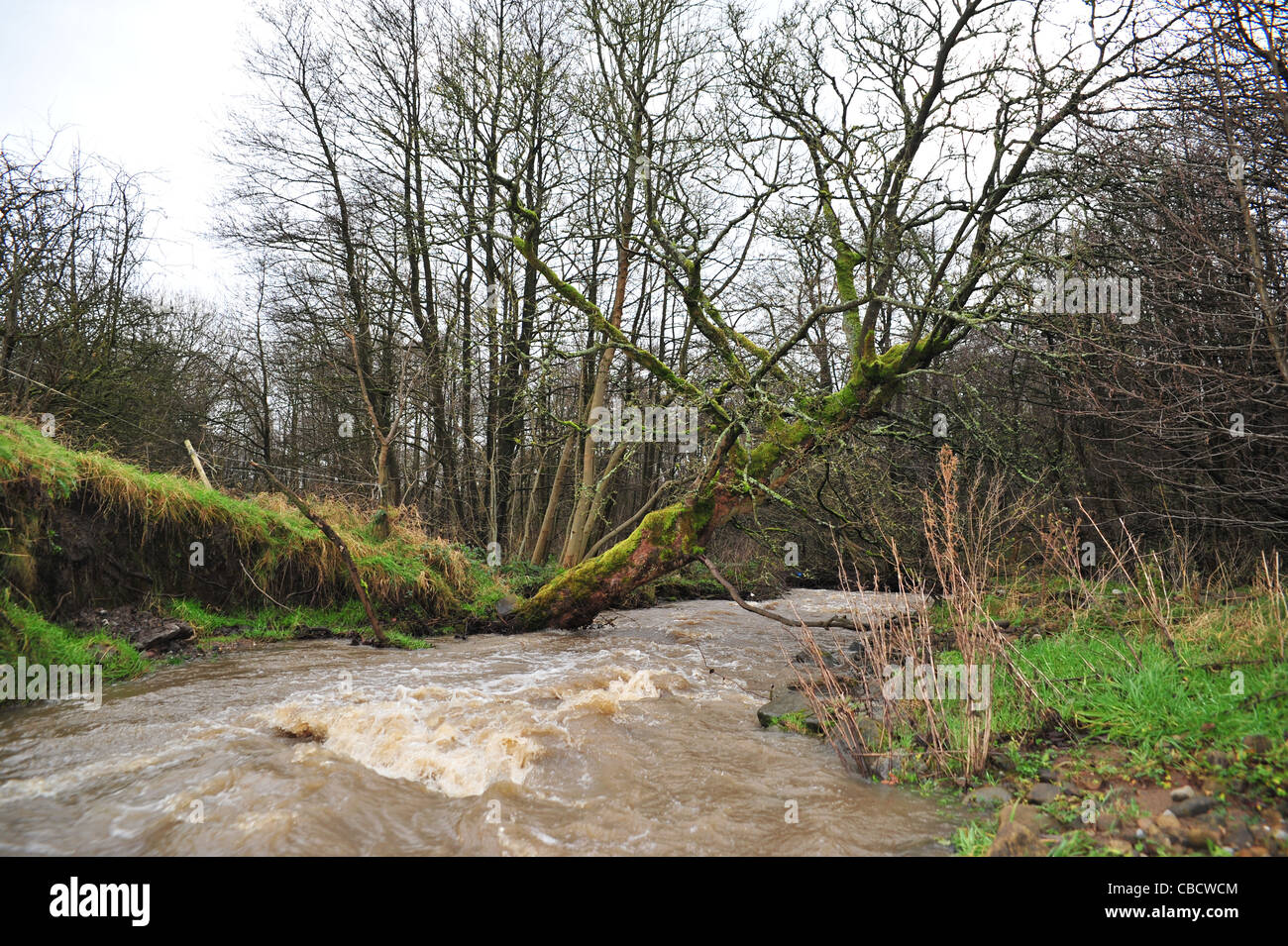 Tree falling into river from erosion and environmental issues on the River Brun in Burnley Lancashire. - Stock Image