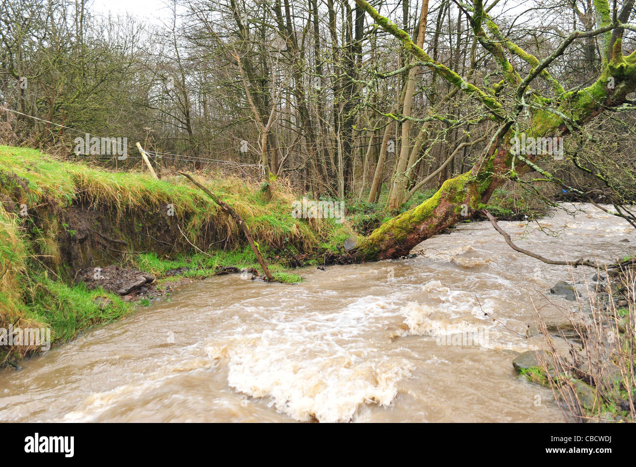 Tree falling into river from erosion and environmental issues on the River Brun in Burnley, Lancashire. - Stock Image