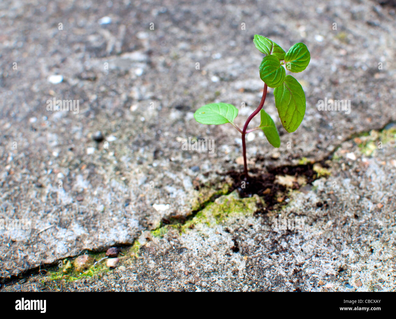 Young seedling emerging from a crack in the earth - Stock Image