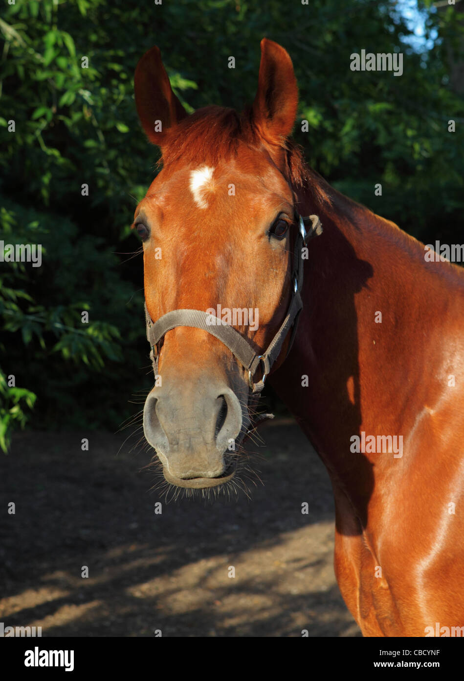 bay horse looking at camera - focus in head - Stock Image