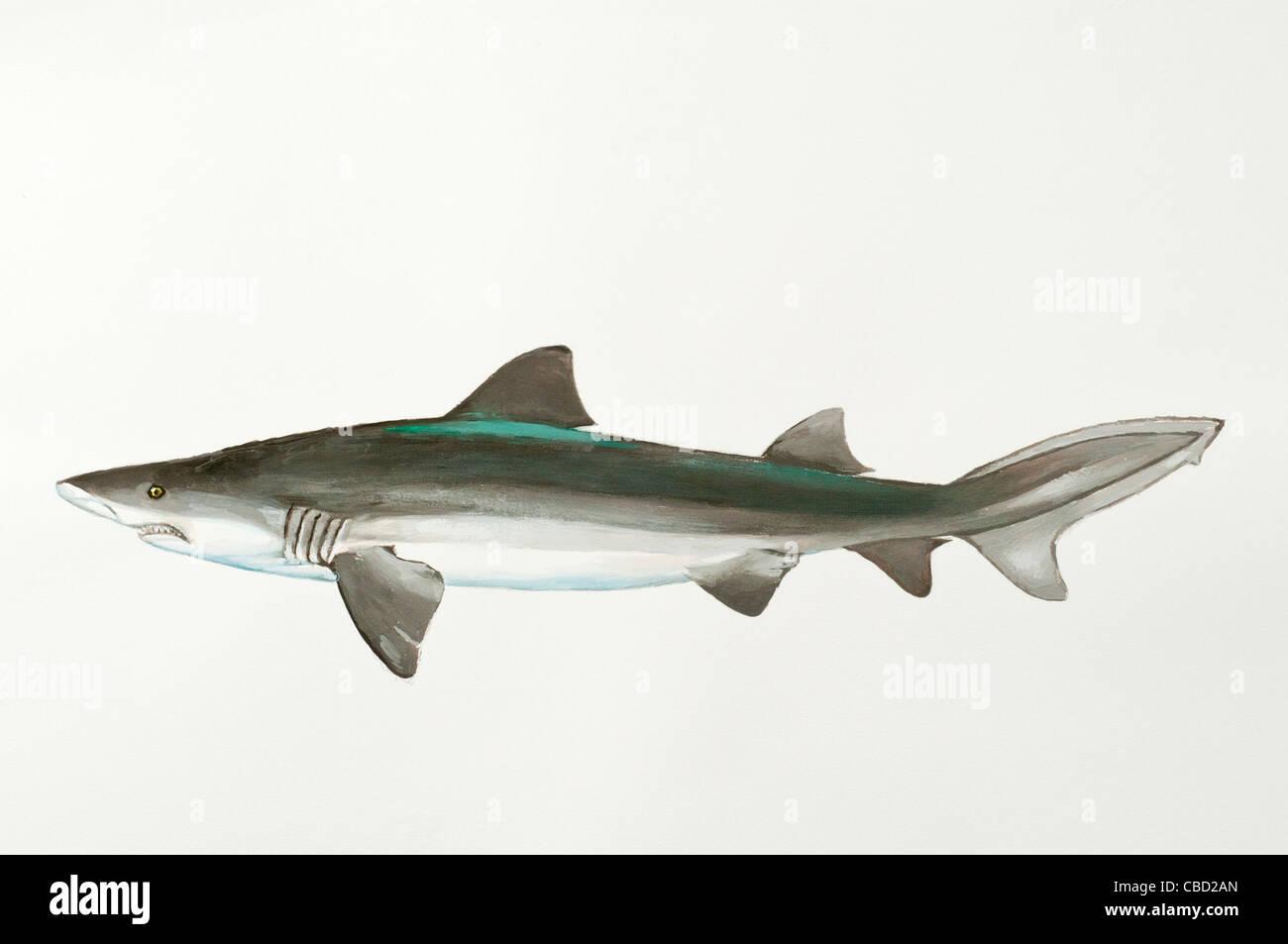 Ragged-Tooth Shark Odontaspis ferox, Oontaspididae - Stock Image