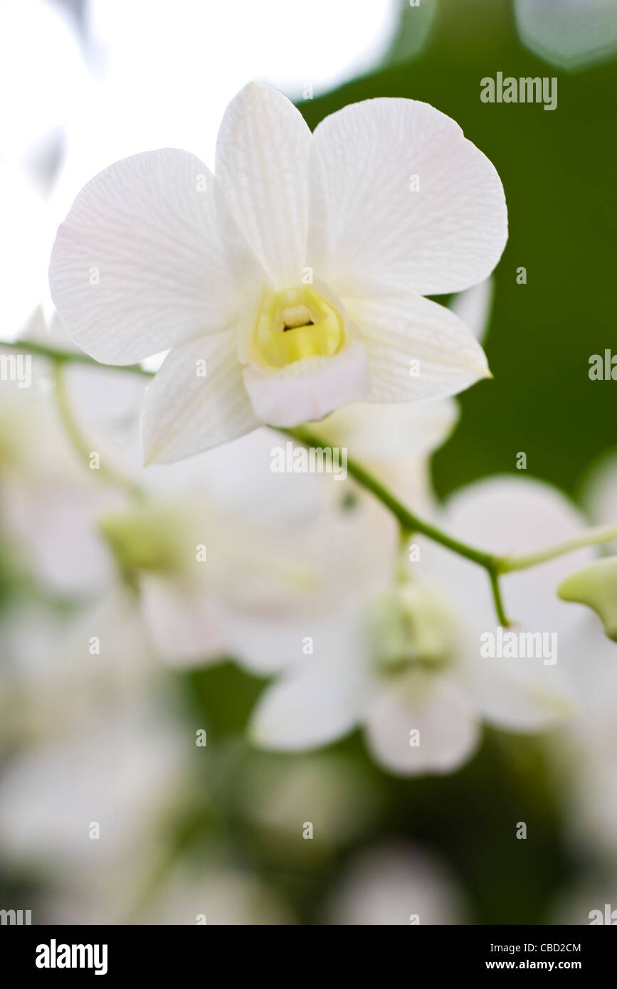 White orchid - Stock Image