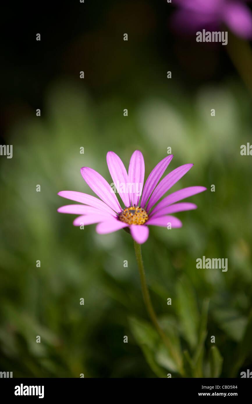 A purple ox-eye daisy, close-up Stock Photo