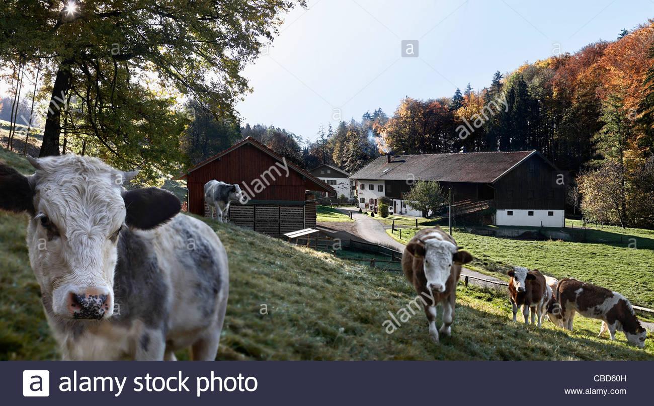 Cows walking on farm - Stock Image