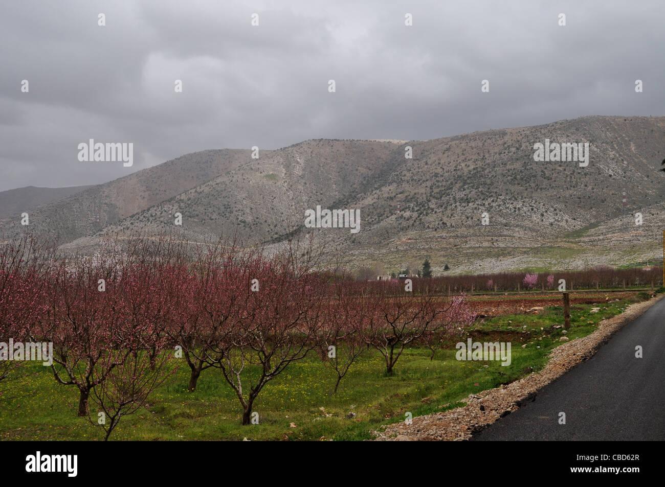 Anjar, Anti-Lebanon mountain range, Syrian border with Lebanon, spring among cherry trees instead of former opium - Stock Image