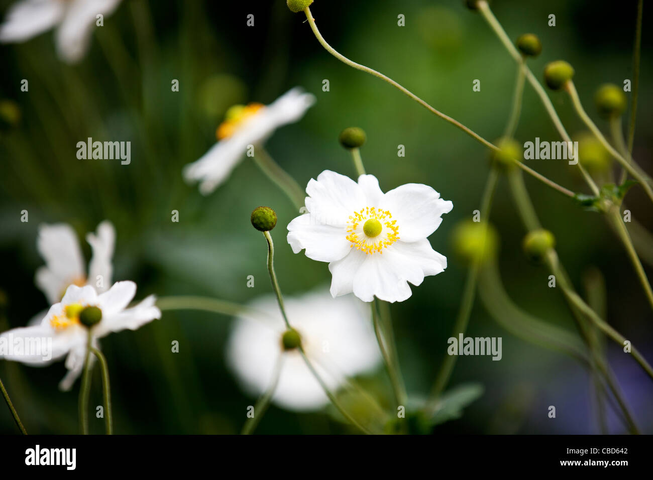 Flower with white petals and yellow center stock photos flower white japanese anemone flowers stock image mightylinksfo