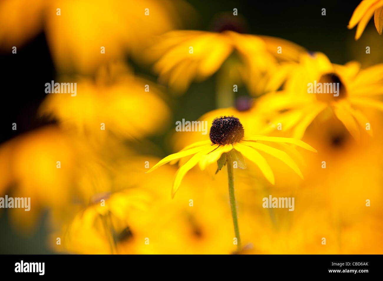 Yellow flower with brown center stock photos yellow flower with yellow flowers brown eyed susan stock image mightylinksfo