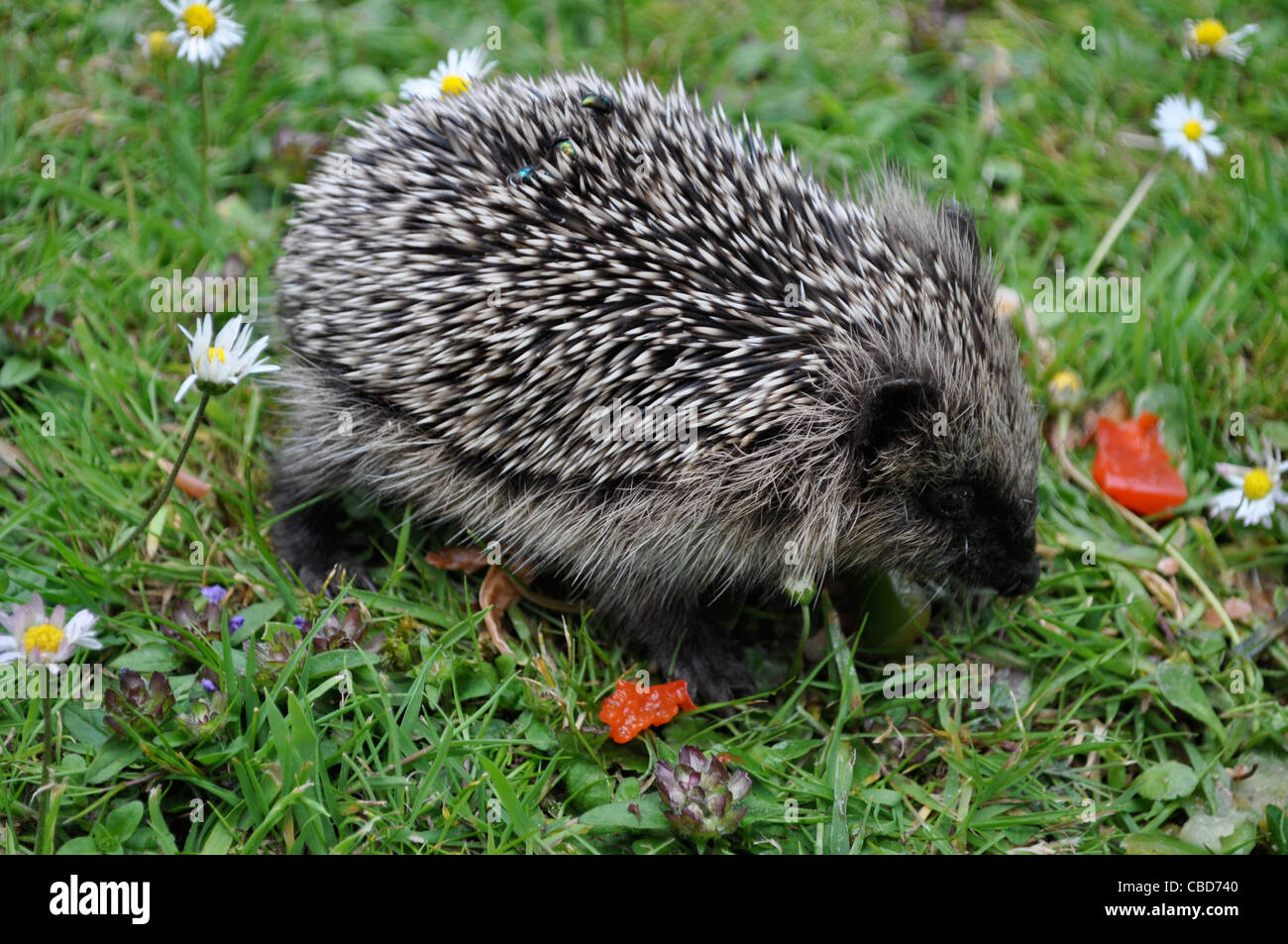 Baby hedgehog eating salad remnants among daisies in summer, England. RSPCA rescue sick and underweight hedgehogs. - Stock Image