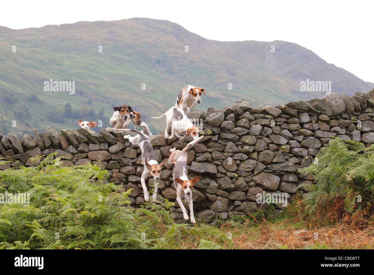 Trail Hounds jumping over a dry stone wall Ambleside Sports, The Lake District, Cumbria, England, UK - Stock Image