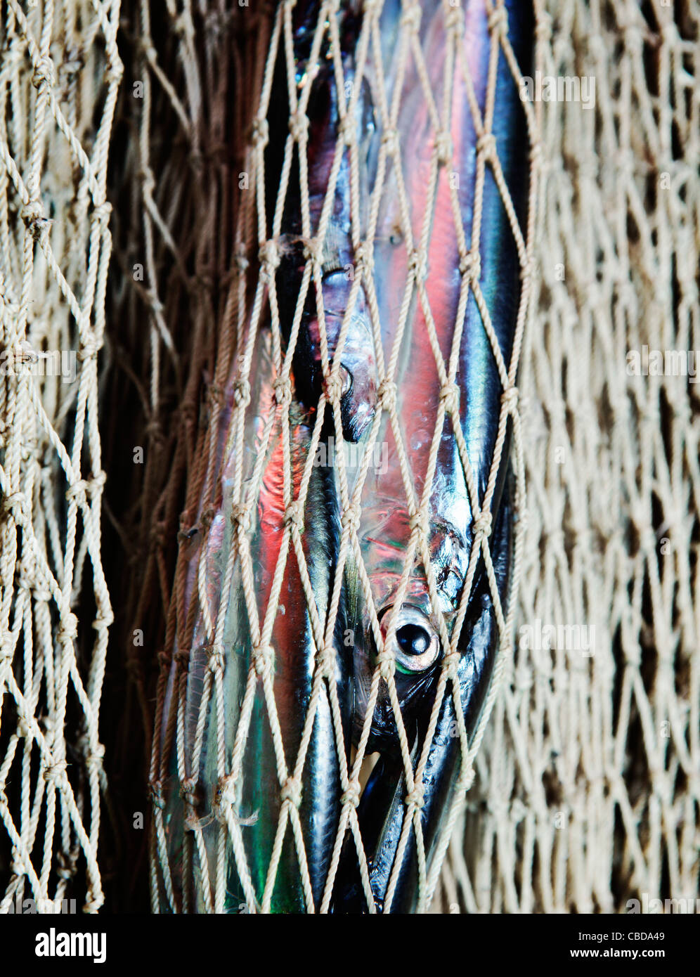 Herrings stuck in a trawling net in Baltic Sea (between Finland / Sweden) - Stock Image