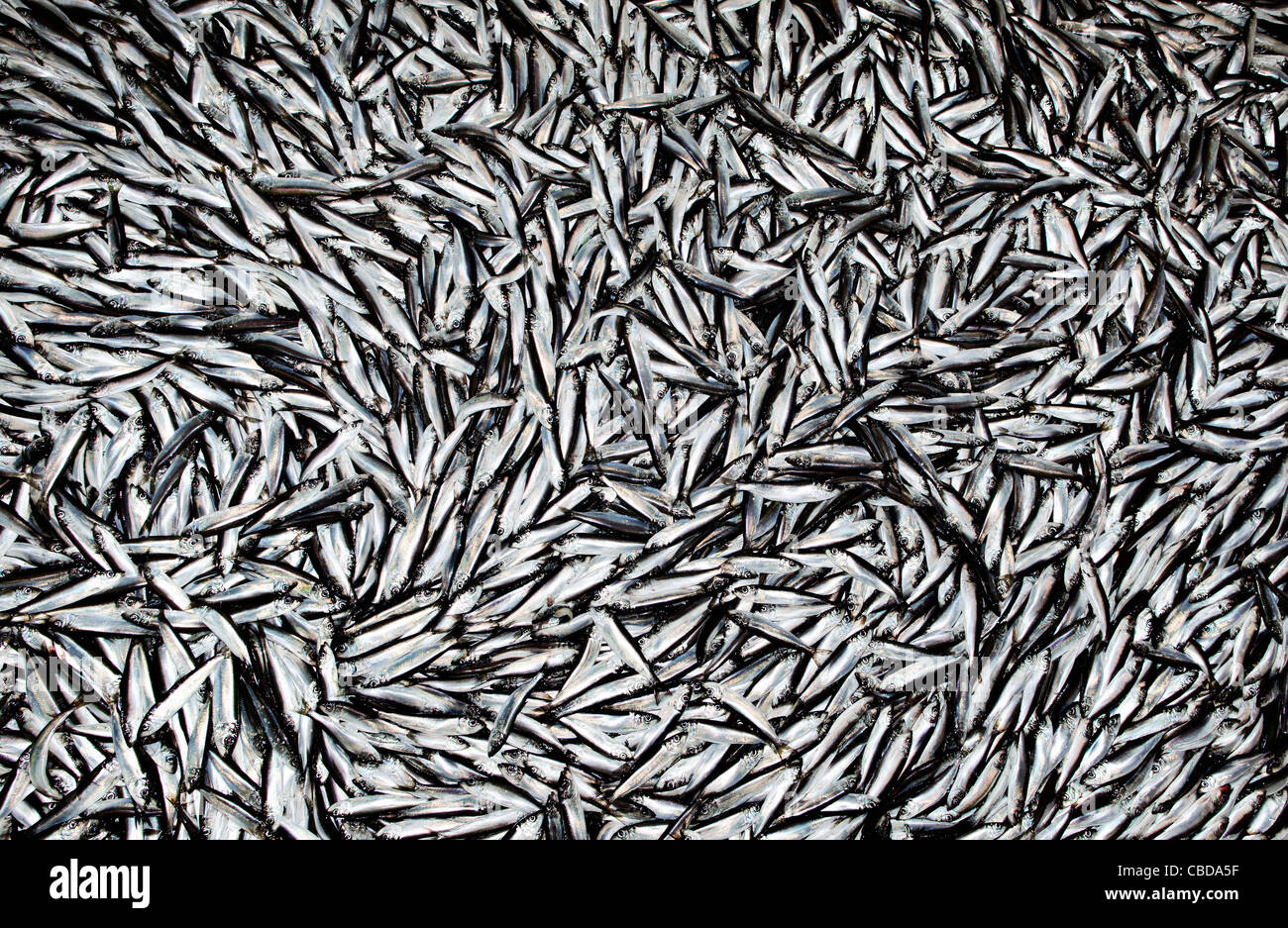 Baltic herring that has been trawled from the bottom between Finland and Sweden. - Stock Image
