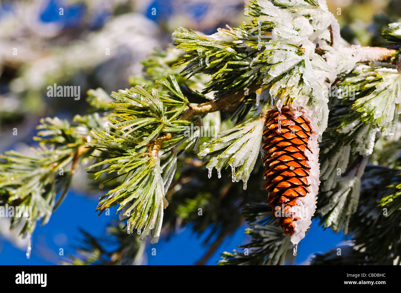 Rime ice on pine cones and branches, San Bernardino National Forest, California USA Stock Photo