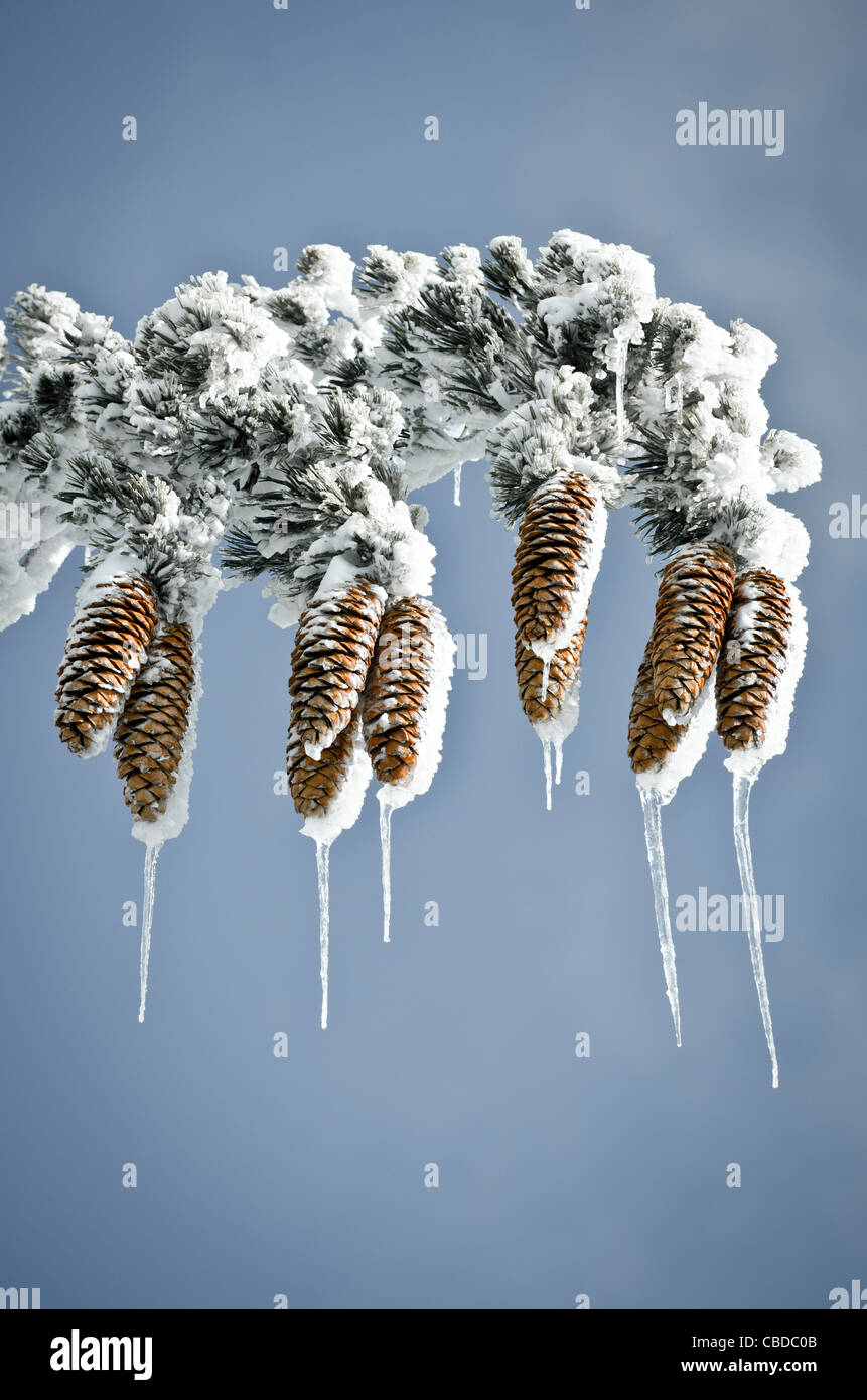 Rime ice on pine cones and branches, San Bernardino National Forest, California USA - Stock Image
