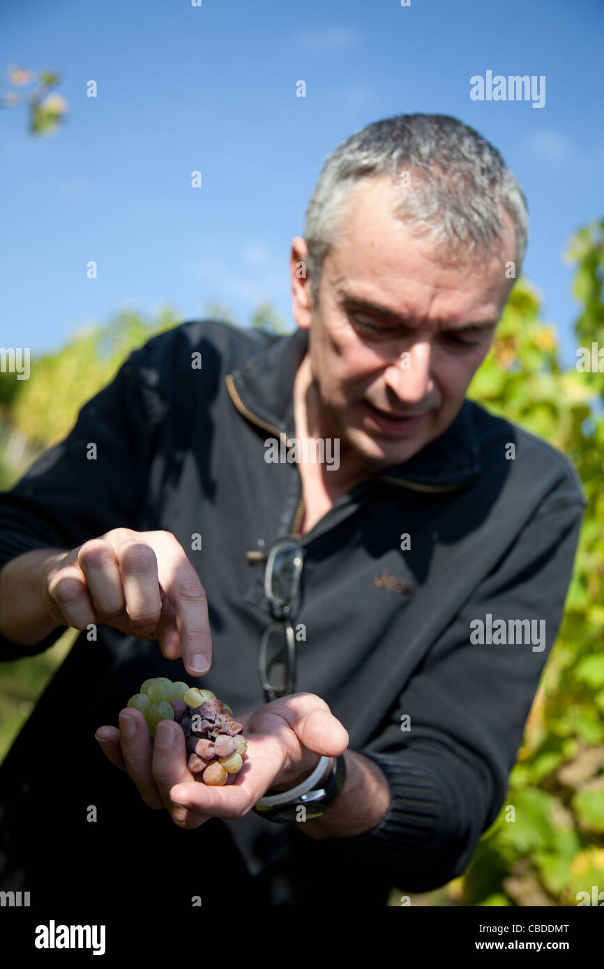 Etienne Hugel with grapes from the vine, Alsace, France. Stock Photo