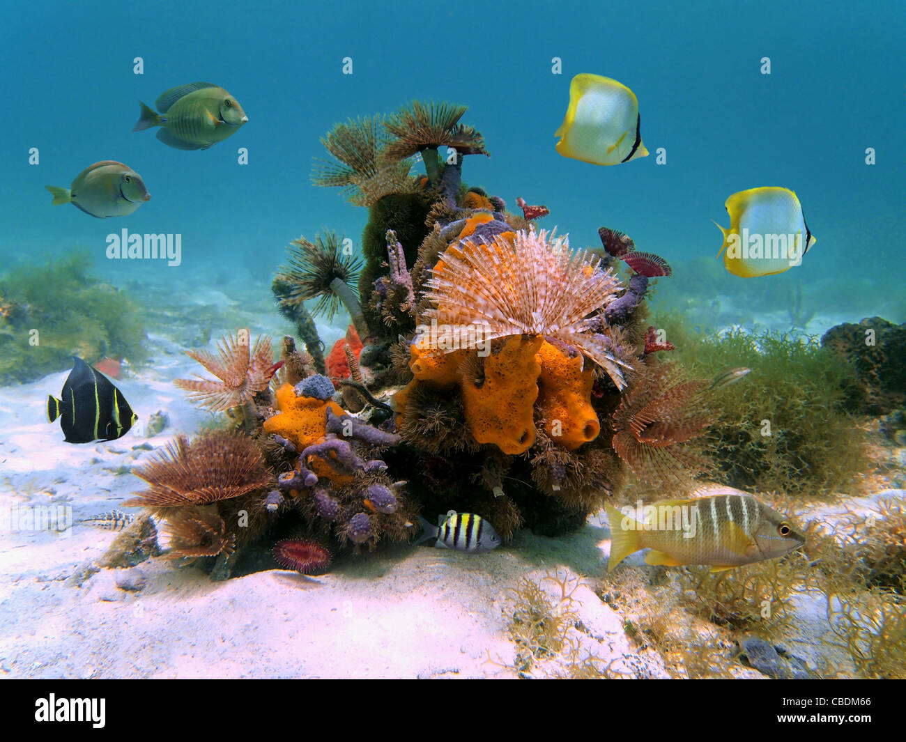 Underwater colorful marine life with marine worms, sponges and tropical fish in the Caribbean sea - Stock Image