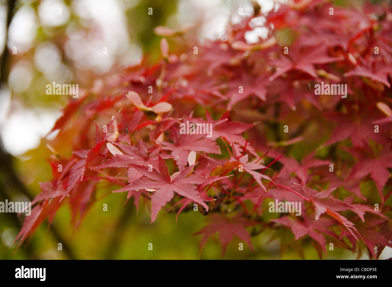 Red leaves of the japanese maple in autumn, foliage Stock Photo
