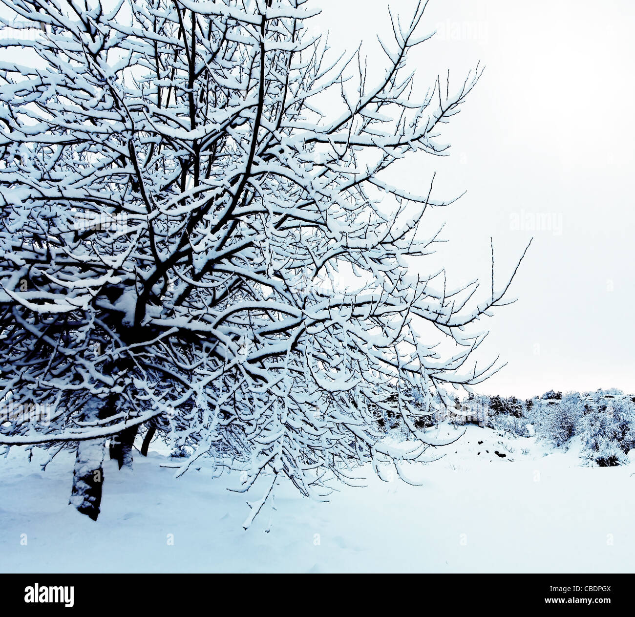 Beautiful winter forest background with trees covered with snow, nature of countryside at wintertime Stock Photo