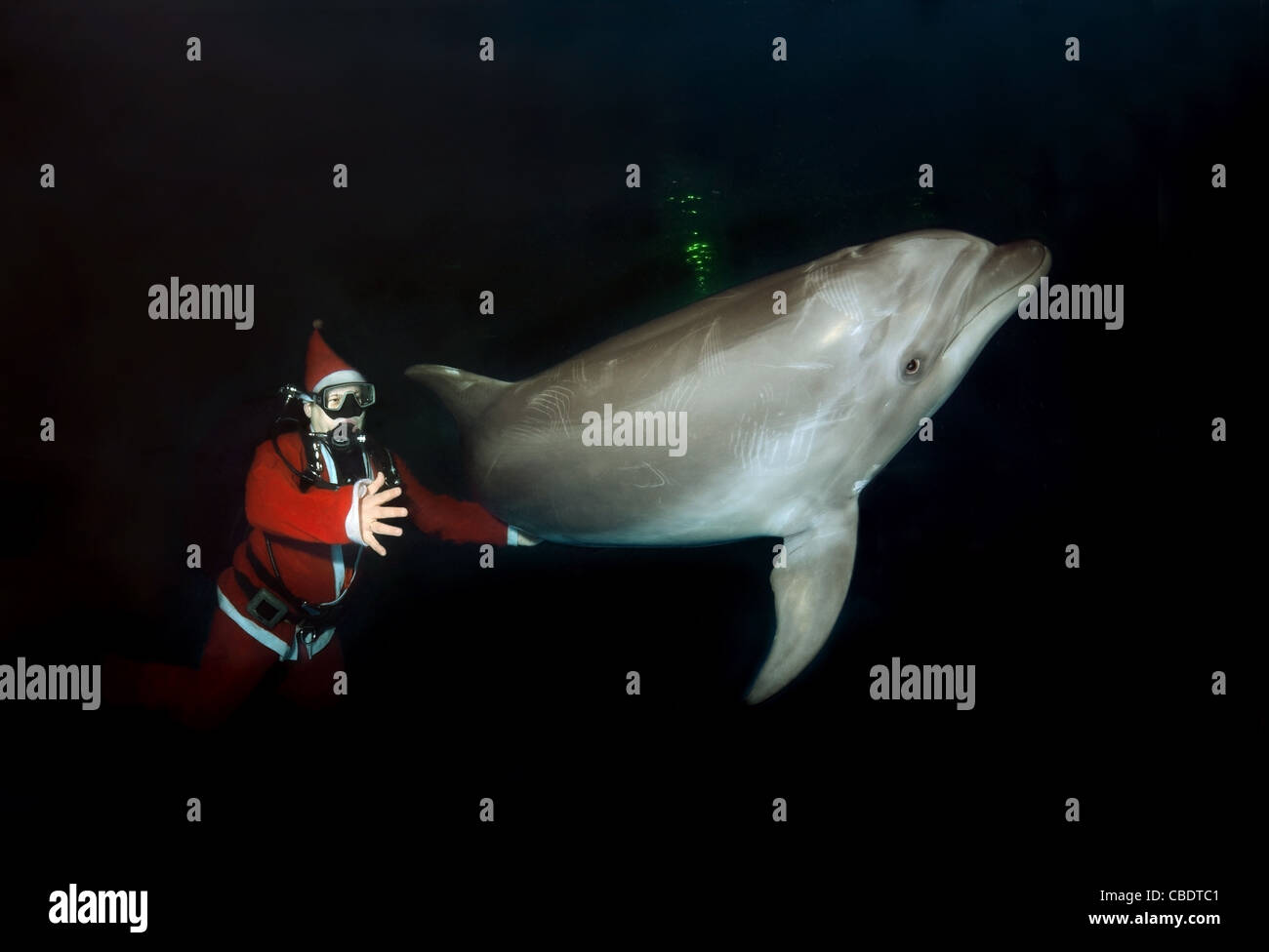Happy New Year, Dolphin and Santa Claus - bottlenose dolphin, Afalina (Tursiops truncatus) - Stock Image