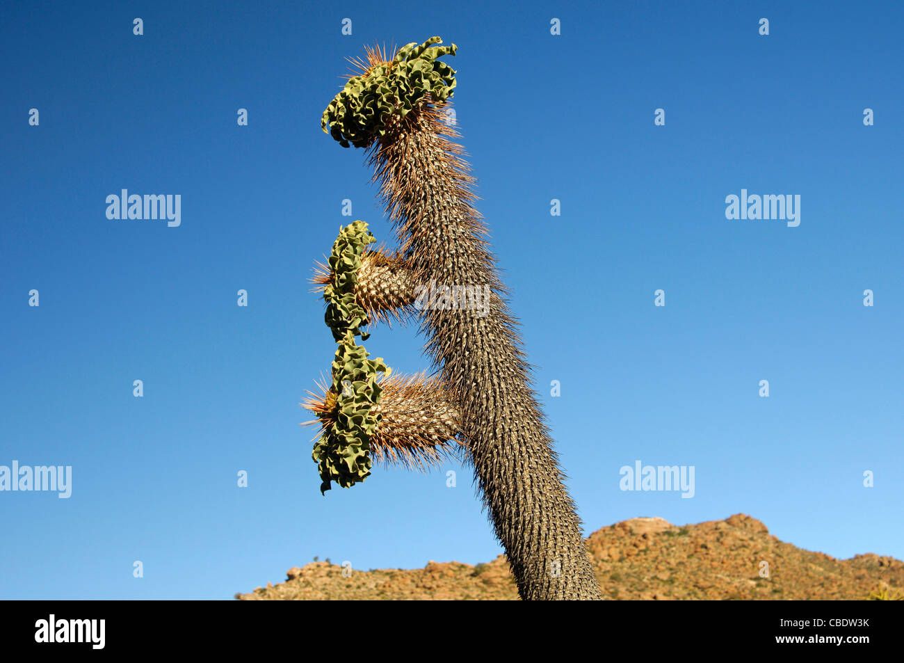 Halfmens, Pachypodium namaquanum, with inflorescence in habitat, Richtersveld Transfrontier National Park, South - Stock Image