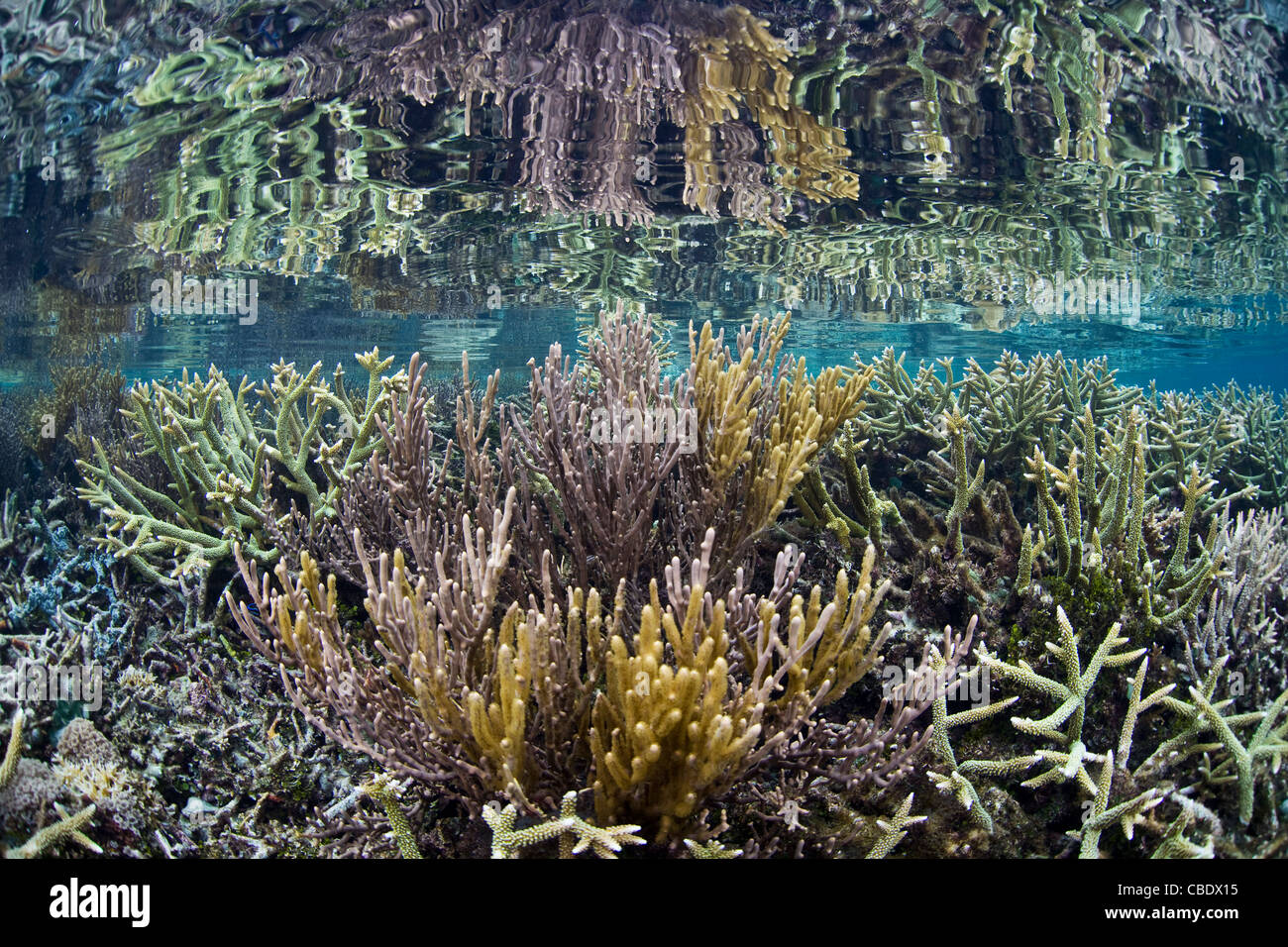 Staghorn corals, Acropora spp., compete with fast-growing gorgonians for space on a shallow coral reef in remote - Stock Image