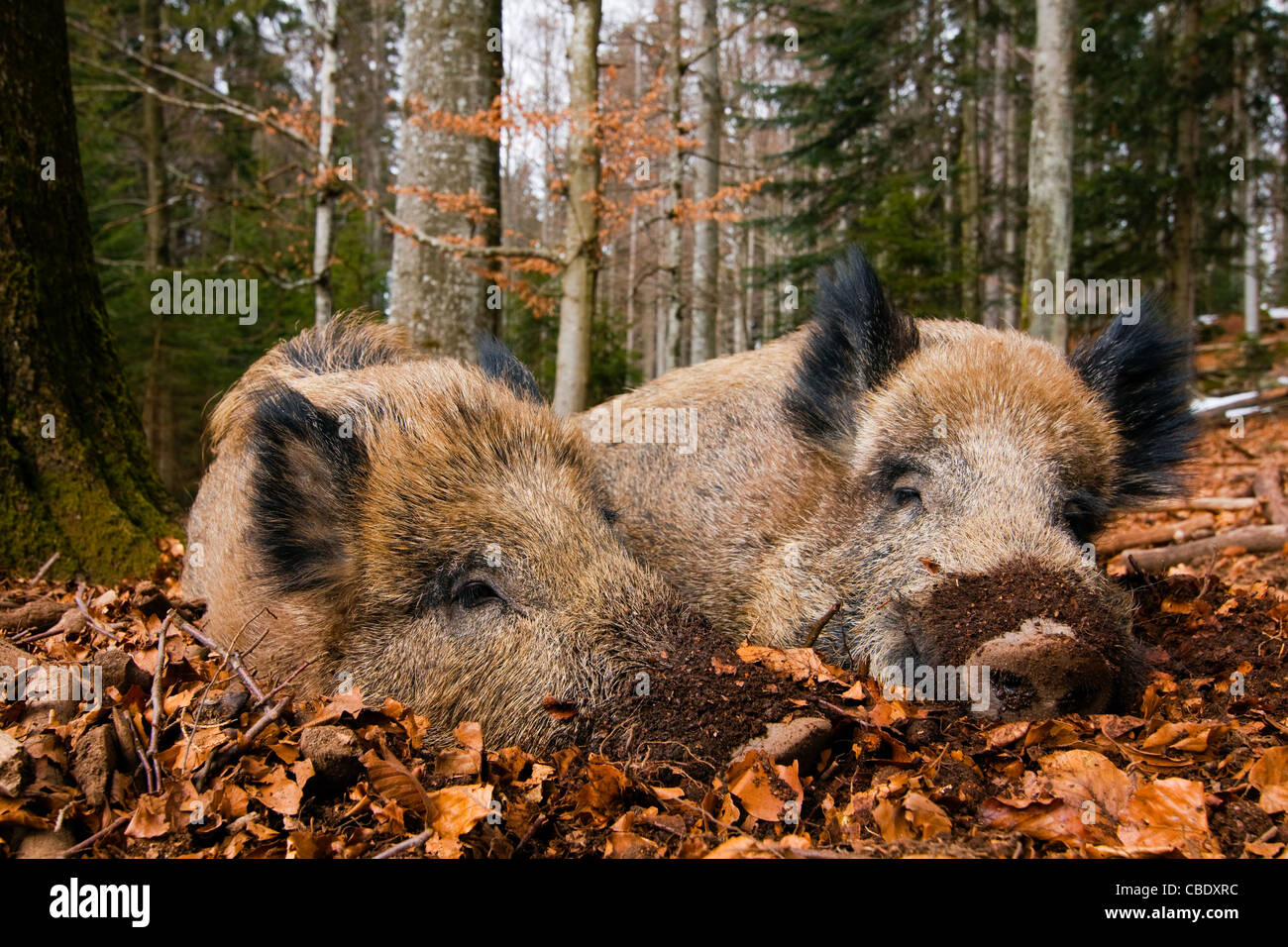 Two wild boars laying in forest. - Stock Image