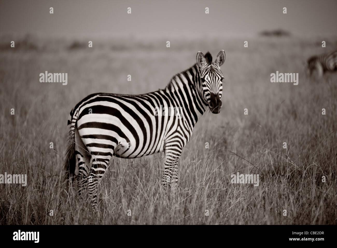 Zebra, Kenya Africa - Stock Image