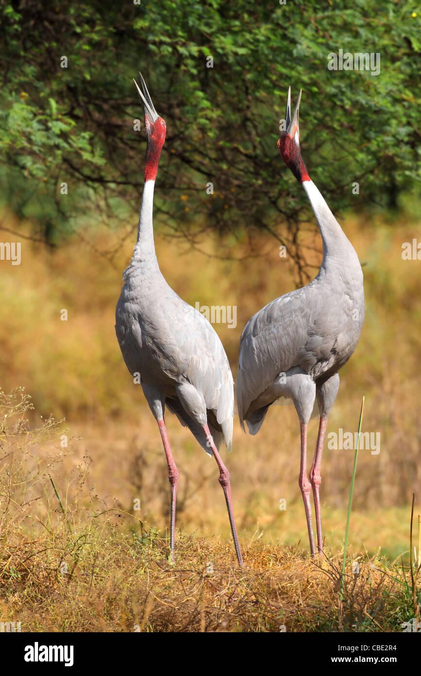 Sarus Crane Display at Bharatpur India - Stock Image