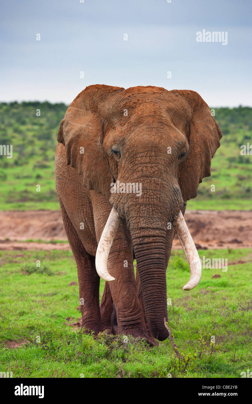 A large Elephant Bull ( Loxodonta Africana ) captured in Hapoor Dam in Addo Elephant National Park in South Africa. - Stock Image