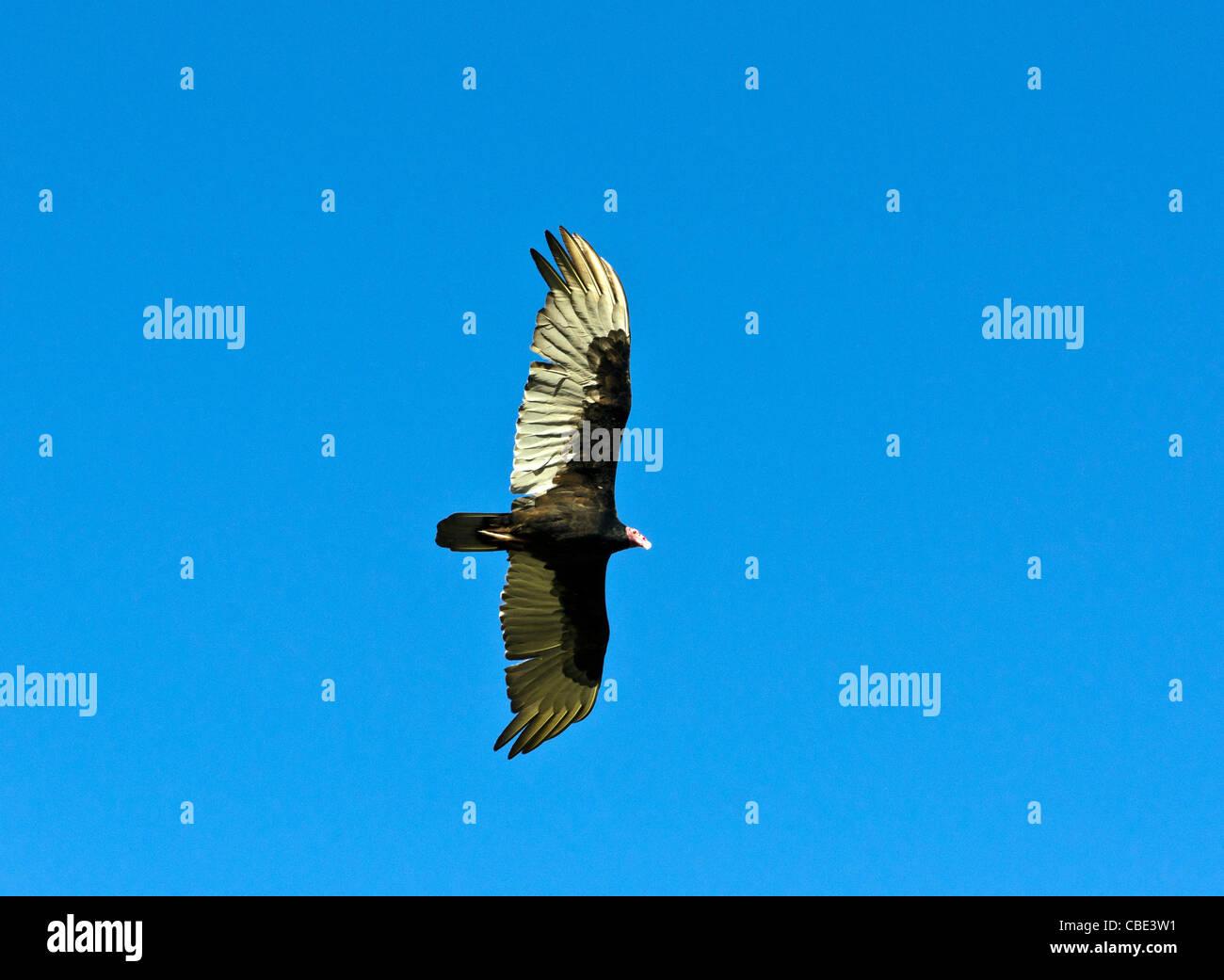 Aura bird flying Santa Maria del Mar Havana Cuba - Stock Image