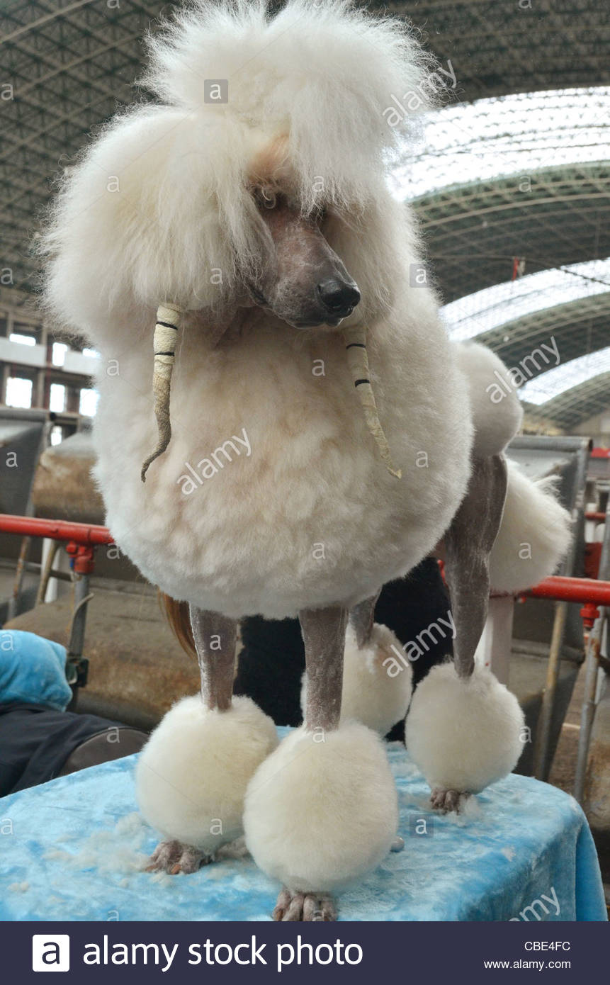The Spanish national dog show in Torrelavega, in the North of Spain. A poodle is being groomed prior to the show - Stock Image