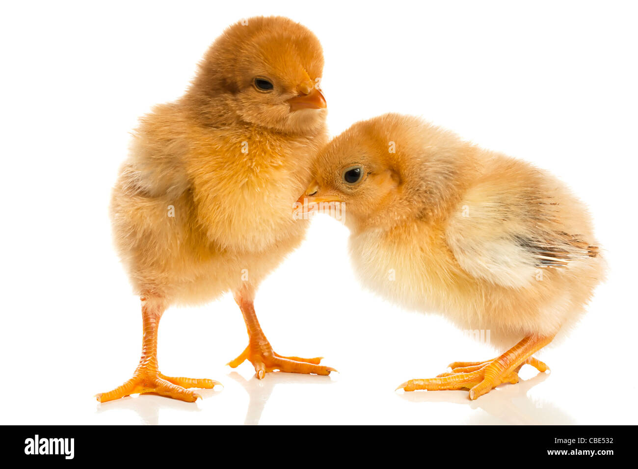 Image result for cute images of baby chicks