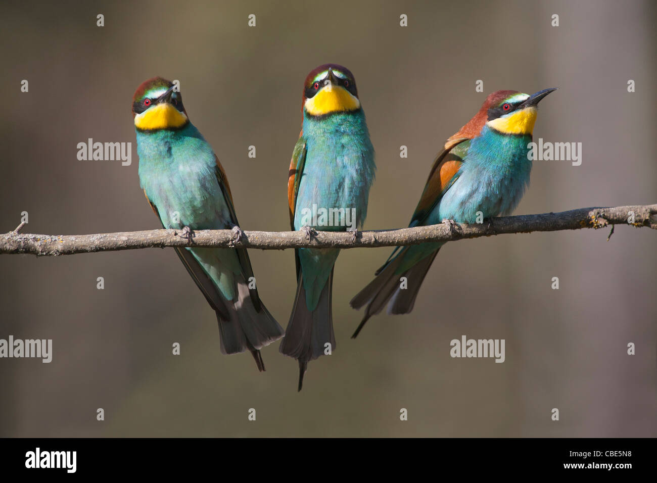 European Bee-eater (Merops apiaster), three perched on stick, Spain - Stock Image