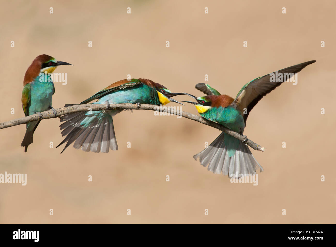European Bee-eater (Merops apiaster), three perched on stick, squabbling, Spain - Stock Image